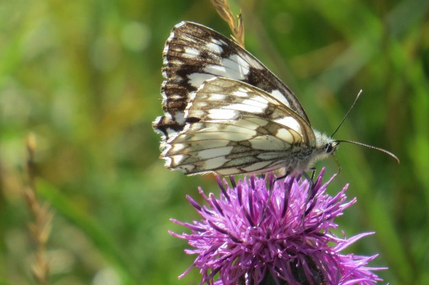 Black and white butterfly nectaring on a purple flower