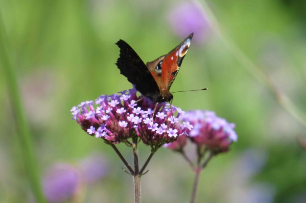 View of a red and black butterfly with some white markings nectaring on a pink coloured flower