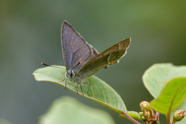 A blackish brown butterfly with some white markings and a purple and blue sheen resting on a green leaf