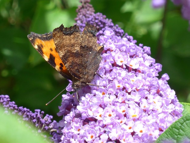 Orange and brown butterfly with black and yellow markings resting on a lilac coloured Buddleia flower