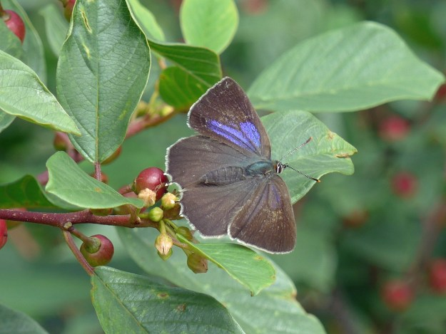 A blackish purple and blue butterfly resting on a green leaf