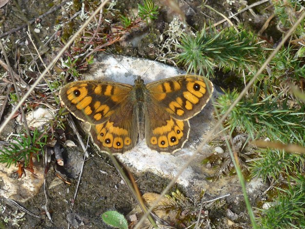 Orange butterfly with blackish brown  markings resting on the ground