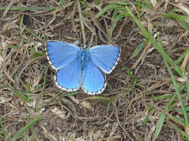 Blue butterfly with a white fringe to the wings resting on the ground