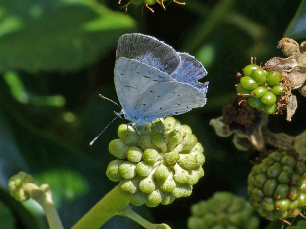 View of a resting blue butterfly with some black spots and black markings