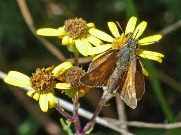 A golden brown butterfly nectaring on a yellow flower