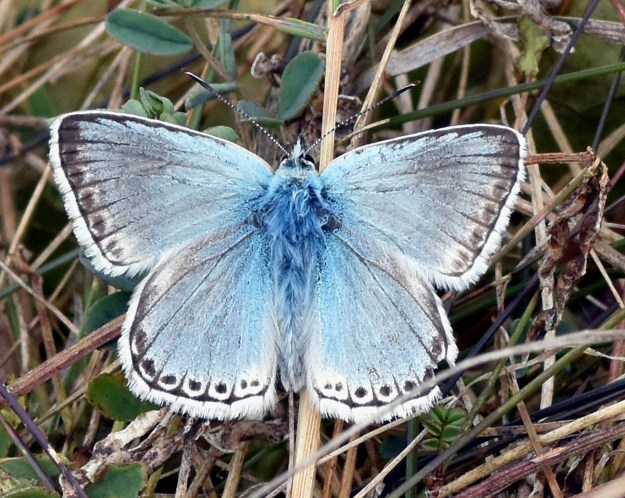 View of a resting blue butterfly with black and white markings and white fringe to the wings
