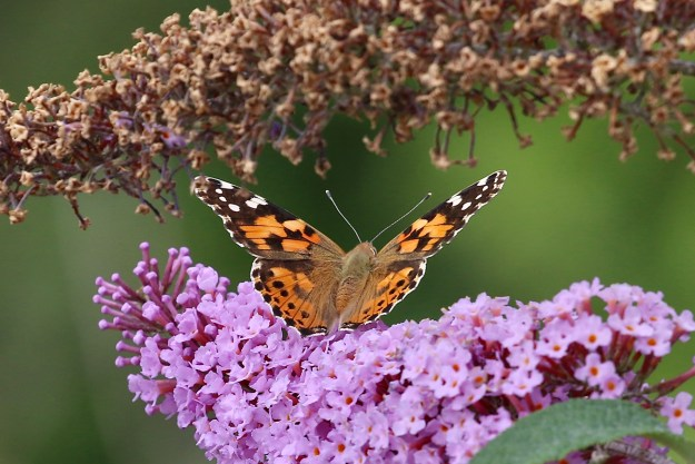 An orange butterfly with black and white markings nectaring on a pink Buddleia flower