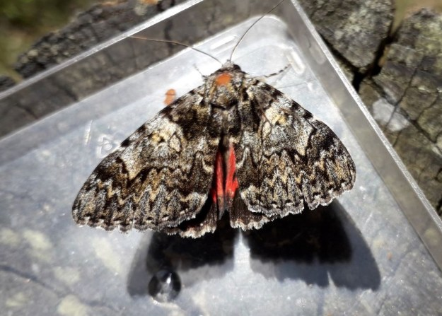View of a resting mottled grey, brown and black moth showing part of its red underwing