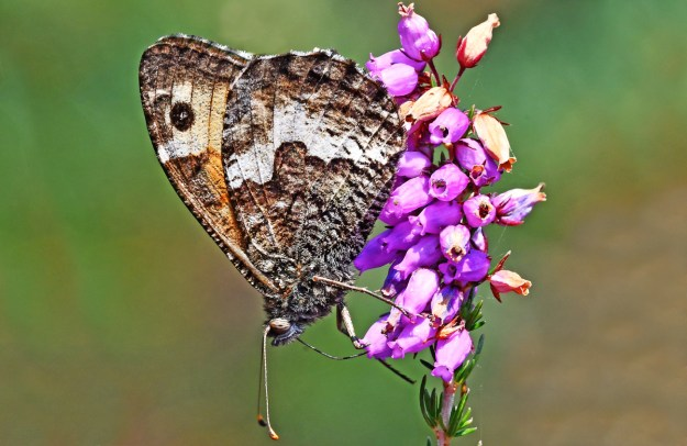 Brownish grey and part orange butterfly nectaring on a pink heather flower