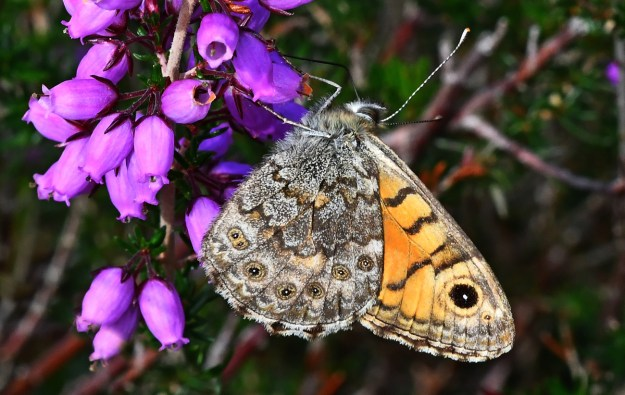 Brown and orange butterfly with some grey and black markings nectaring on a pink heather flower
