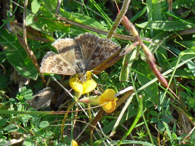 Brown butterfly with paler markings nectaring on a yellow flower
