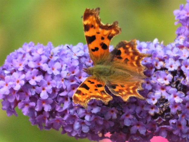 An orange butterfly with brown and black markings nectaring on a lilac coloured Buddleia flower