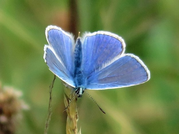 View of a perching blue butterfly with white fringes to the wings