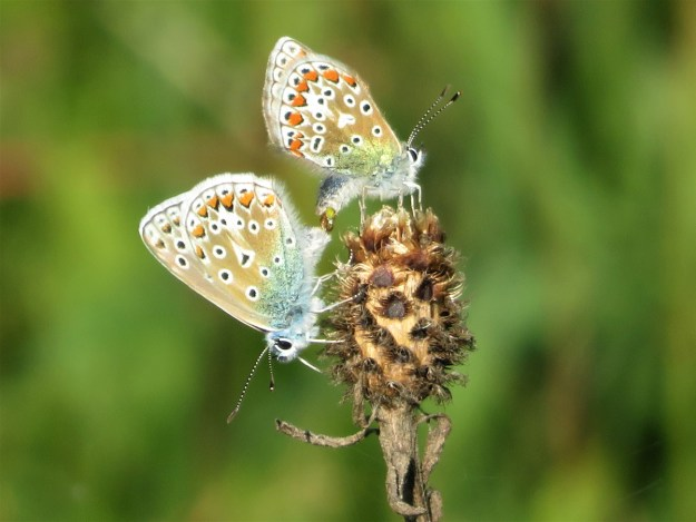 Two pale brown and blue butterflies with black, white and orange markings perched on a plant seed head