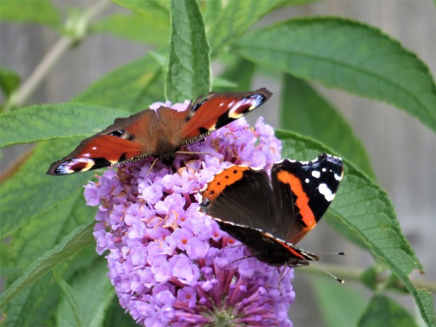A blackish butterfly with red and white markings and a red butterfly with black, blue and white markings both nectaring on a pink Buddleia flower