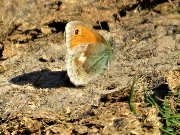 A brown and orange butterfly resting on the ground
