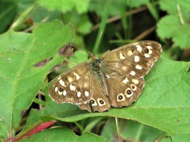 A brown butterfly with cream and black markings resting on a green leaf