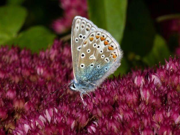 A pale brown and blue butterfly with black, white and orange markings nectaring on a pink Sedum flower