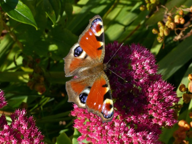 A red butterfly with brown, black, blue and white markings nectaring on a pink Sedum flower