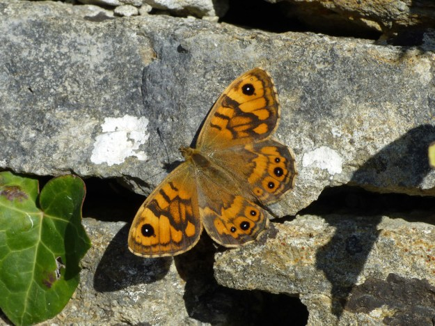 An orange and brown butterfly with black markings resting on a stone wall
