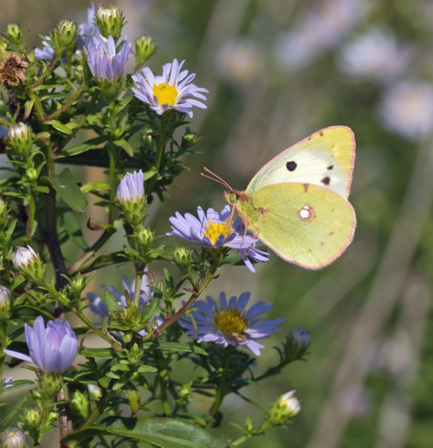 A pale yellow and white butterfly with some black markings nectaring on a lilac blue coloured flower