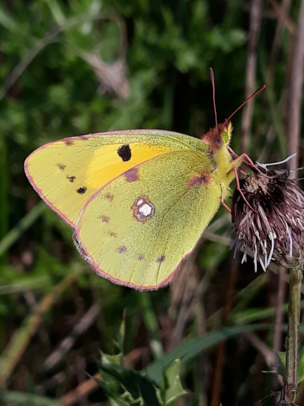 View of a resting yellow buterfly with some black, white and brownish markings