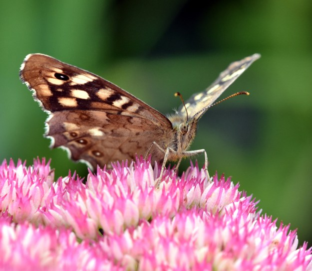 Brown butterfly with cream and black markings resting on a pink Sedum flower
