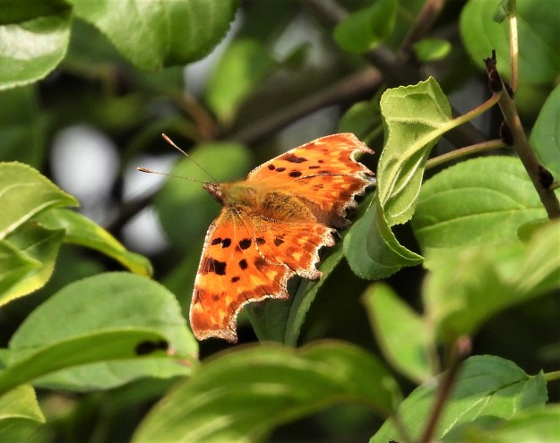 Orange butterfly with black and yellow markings resting on a green leaf