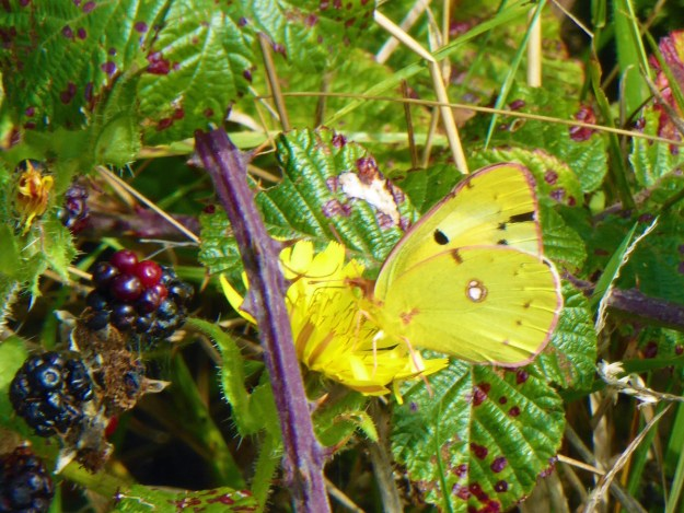 A yellow butterfly with some brown, black and white markings nectaring on a yellow flower