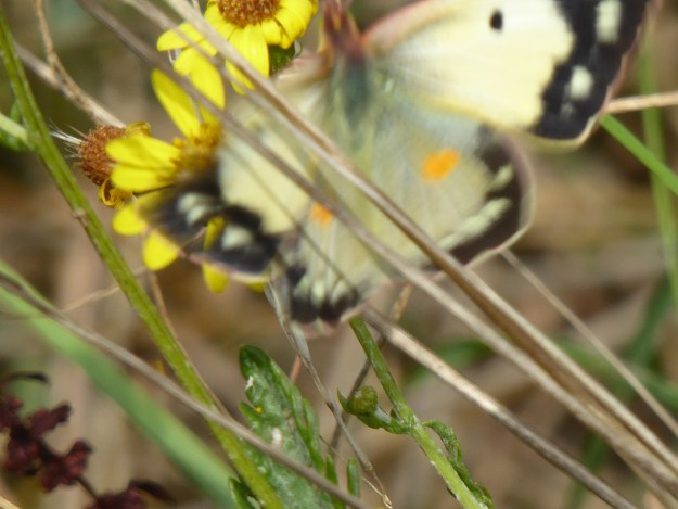 View of a yellow butterfly with black markings resting on a yellow flower