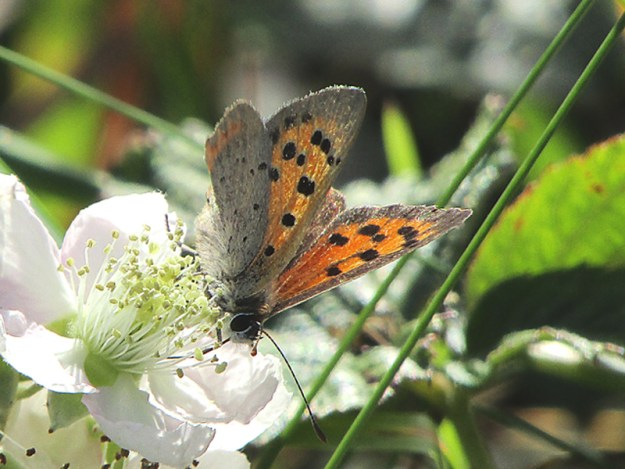 An orange and brown butterfly with black markings nectaring on a white flower
