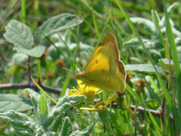 A yellow butterfly with brown markings nectaring on a yellow flower