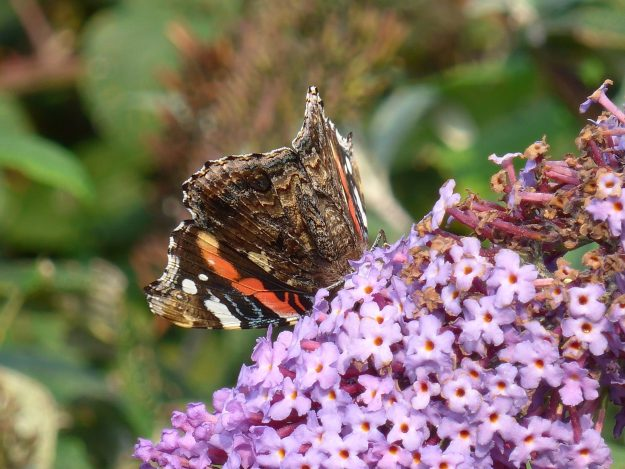 A blackish brown butterfly with reddish orange and white markings nectaring on a pinkish pruple flower