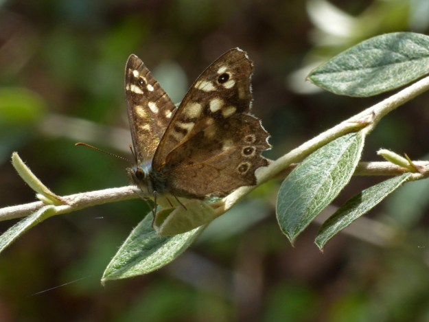 Chocolate brown butterfly with cream markings resting on a green leaf