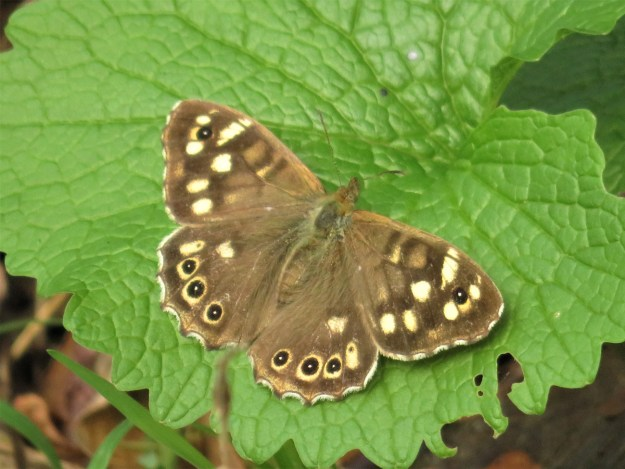 A chocolate brown butterfly with cream markings resting on a green leaf