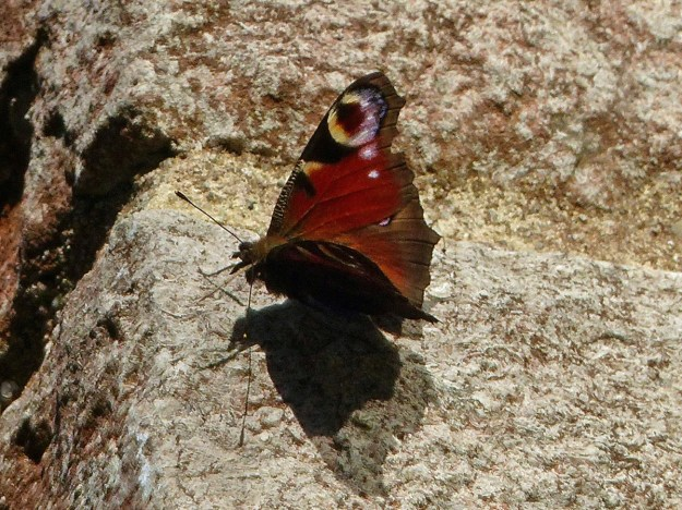 A red and black butterfly with white and blueish markings resting on the stone wall of a house
