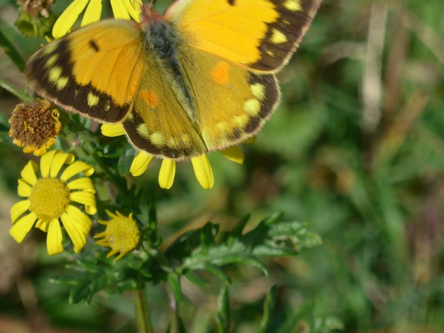 A yellow butterfly with some black markings nectaring on a yellow flower.