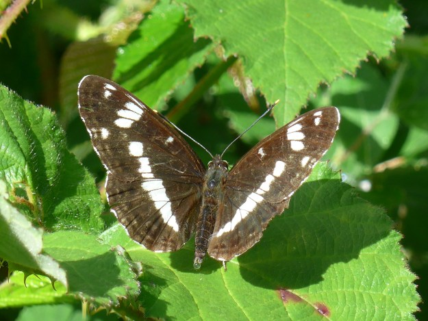 A brownish black butterfly with white markings resting on some green vegetation