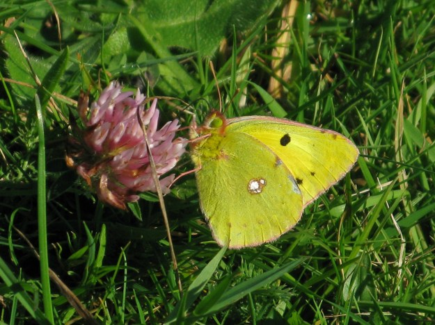 A yellow butterfly with some black and white markings nectaring on a pink flower