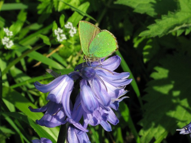 View of a green butterfly resting on a bluebell flower