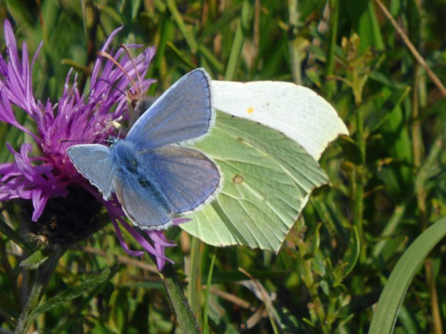 View of two butterflies, one blue and one greenish yellow resting on a purplish pink flower