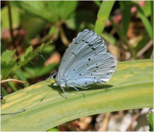 A silvery blue butterffly with black markings resting on a green leaf