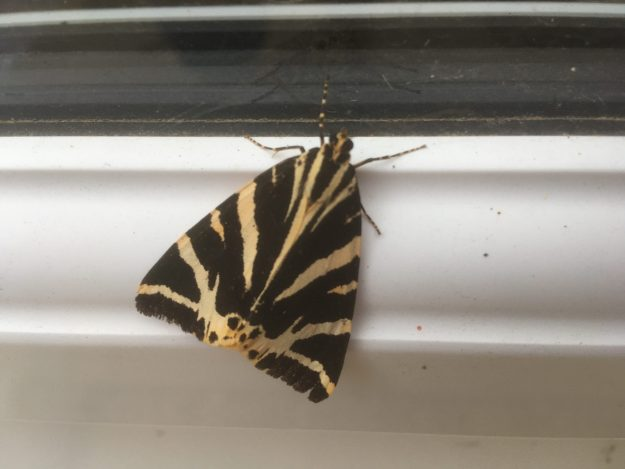 black and yellow s diagonally striped moth on guttering