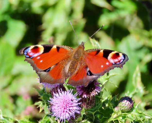 View of a red butterfly with black, white and blue markings
