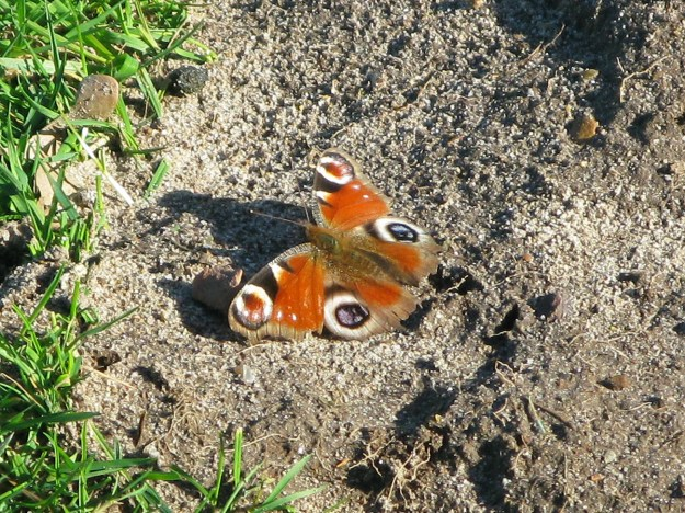 A red butterfly with black, blue, brown and creamy white markings resting on the ground