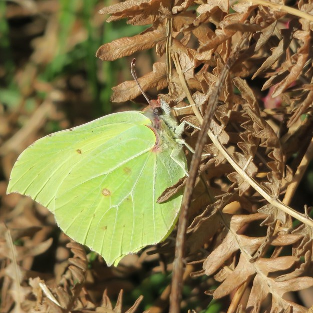 View of a resting greenish yellow butterfly with some brown markings