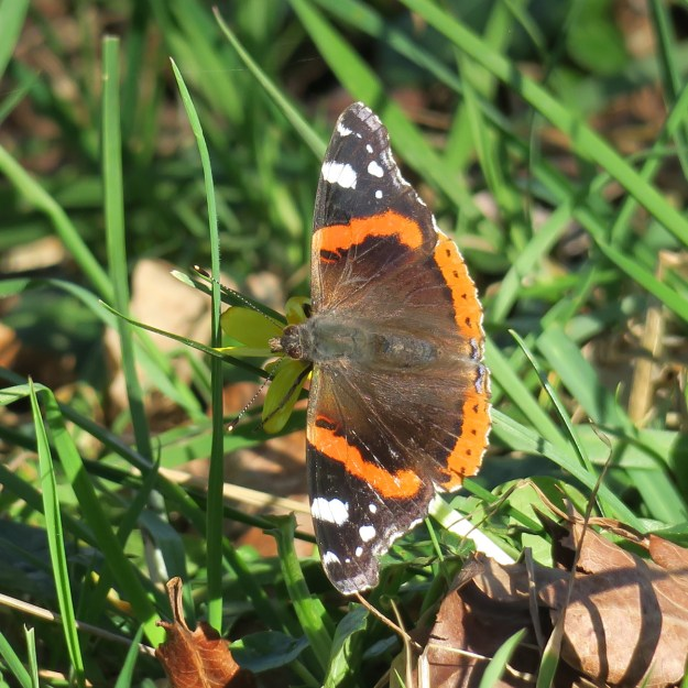 A reddish orange butterfly with black, white and brown markings resting on some green vegetation