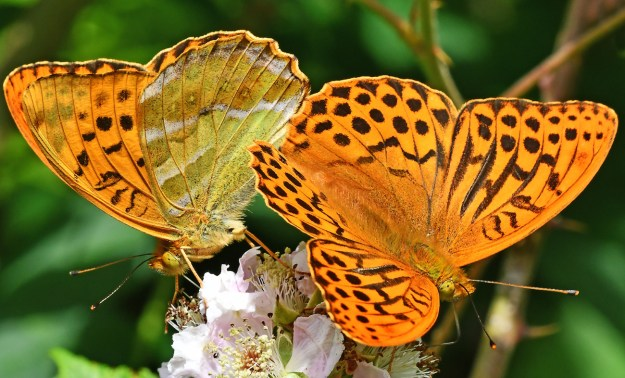 View of two orange butterflies with black markings on a pinkish white bramble flower