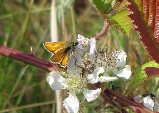 View of a golden brown and orange butterfly nectaring on white flowers with a spider next to it.