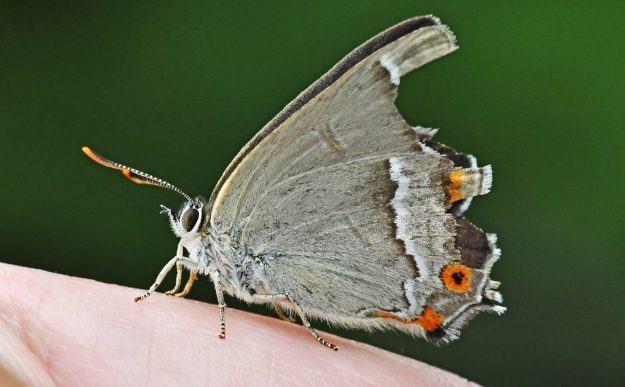 A resting greyish brown butterfly with orange, black and white markings